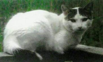 Missing, white cat with brown tabby markings on and around ears and most of tail