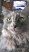 Fluffy, grey-calico medium size