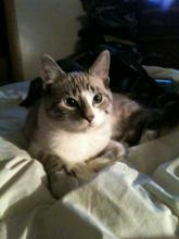 Missing since Sept 2 2013 Boo bear. Fruitvale BC 1 year old male, neutred siamese cross