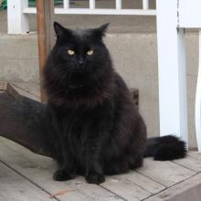 Large, long haired black cat