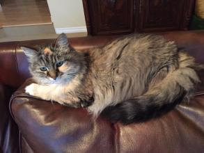 Whisper is a 14yr old brown tabby with white under her chin and a nick in the top of one ear. She has a red collar and answers to her mane.