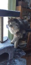 Polydactyl Male Maine Coon mix