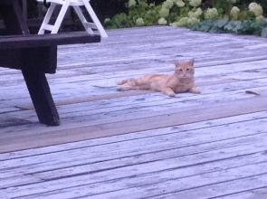 Young Orange tabby found in Castlegar