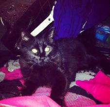 Lost black cat named Rasta lost in Rosemont