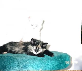 Diva and Jazz as kittens