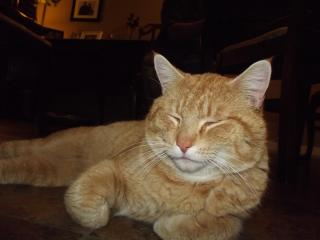 FOUND MALE NON NUETURED ORANGE AND WHITE TABBY CAT