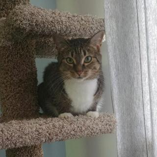 Brown and white female tabby.