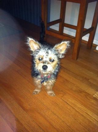 yorkie with large ears