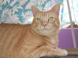 Orange and white short haired tabby cat.